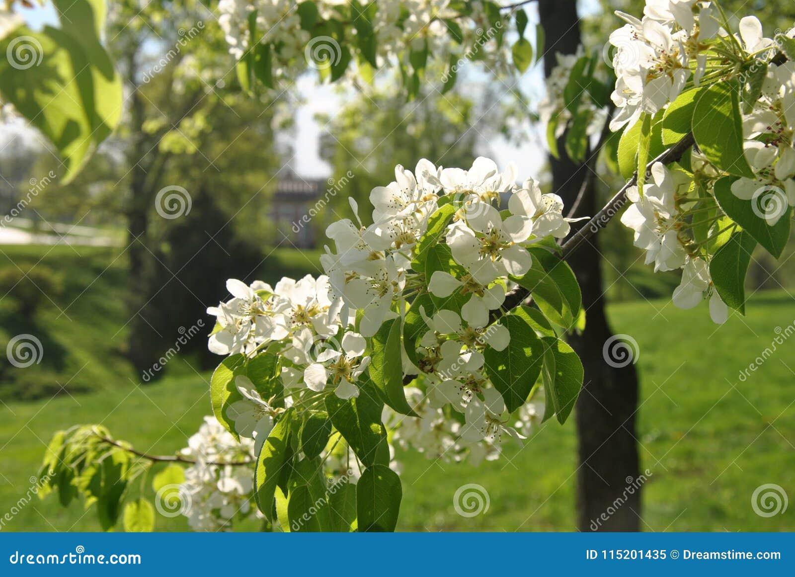 苹果树分支在城市公园开花