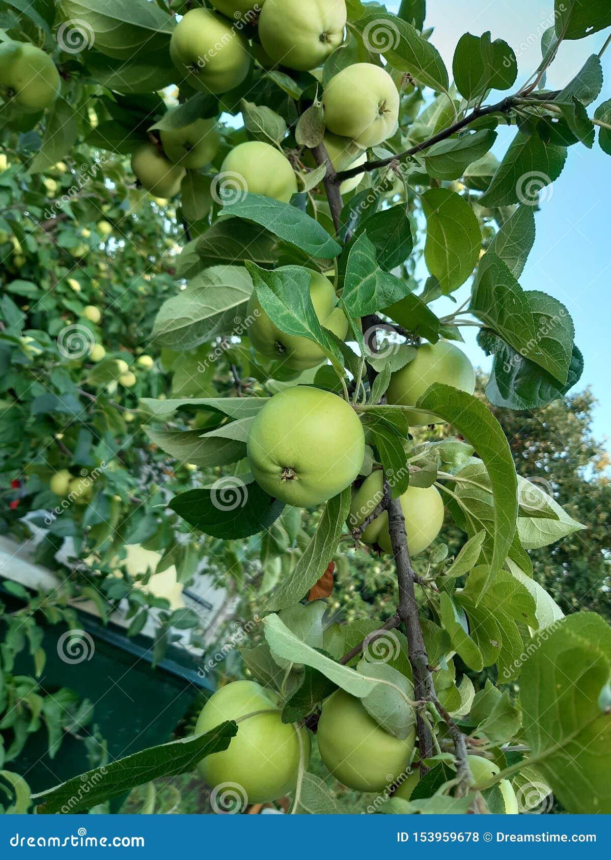 苹果树分支用果子