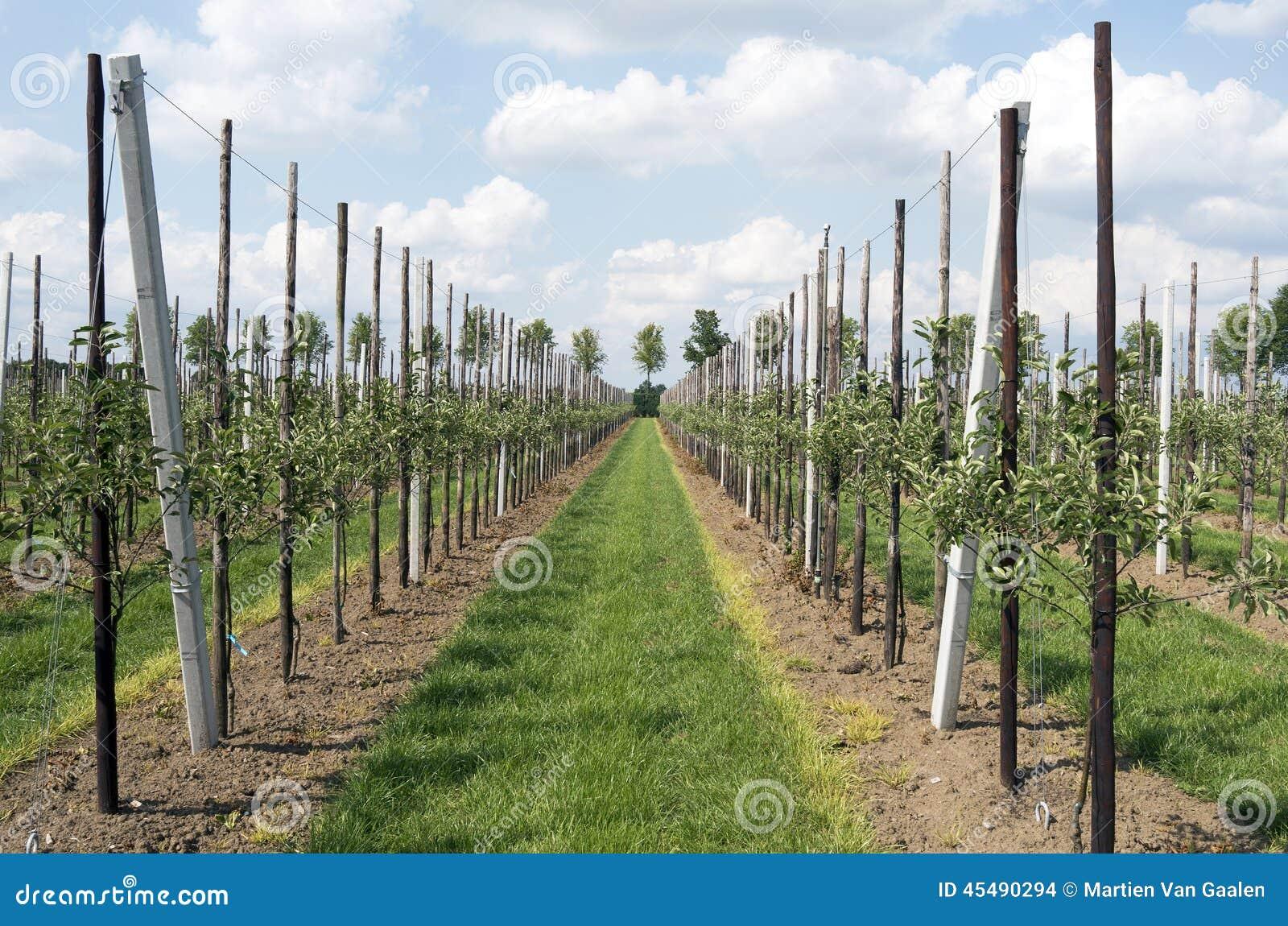 苹果树在果树园