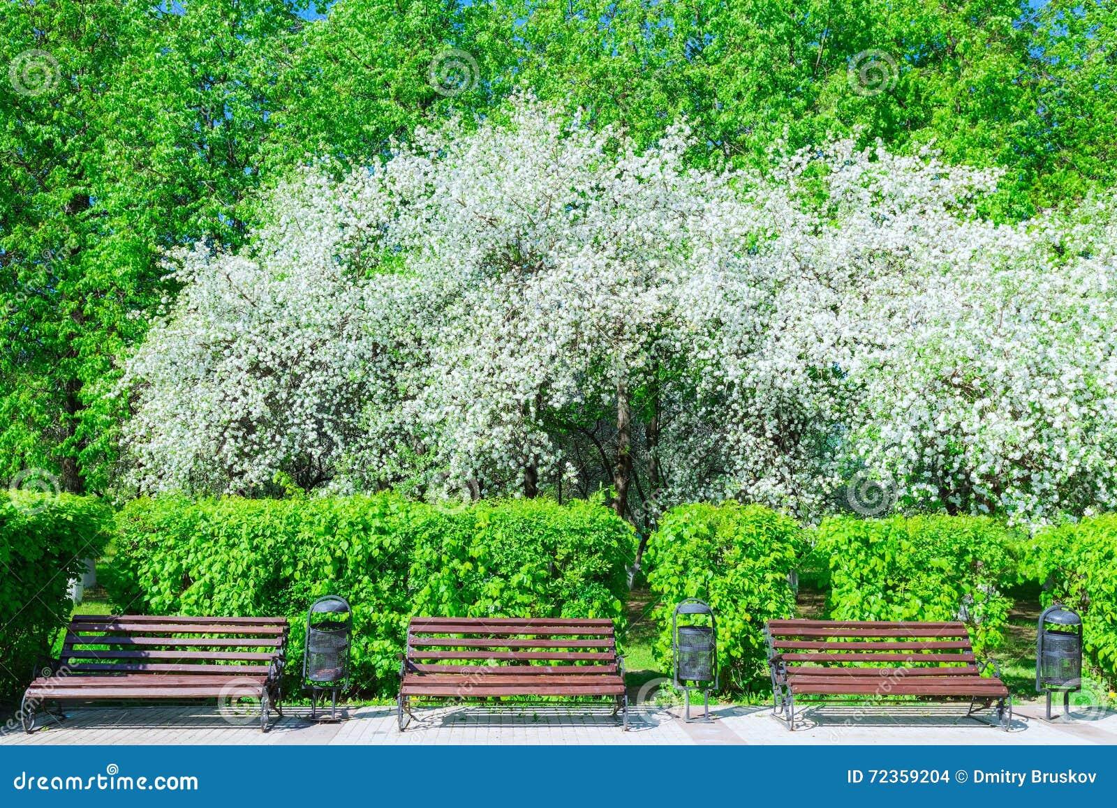苹果树开花