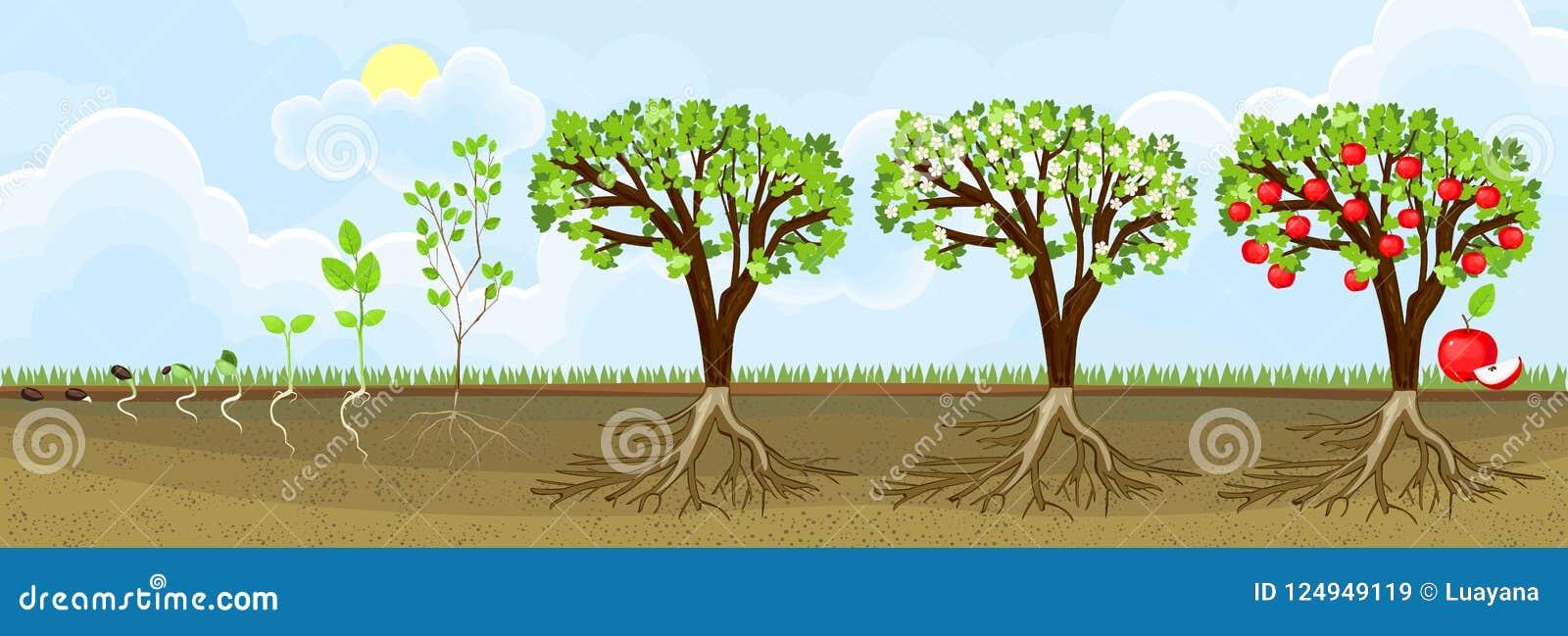 苹果树成长过程图片_苹果树的生命周期 成长阶段从种子的到成人植物用果子 向量例证 ...