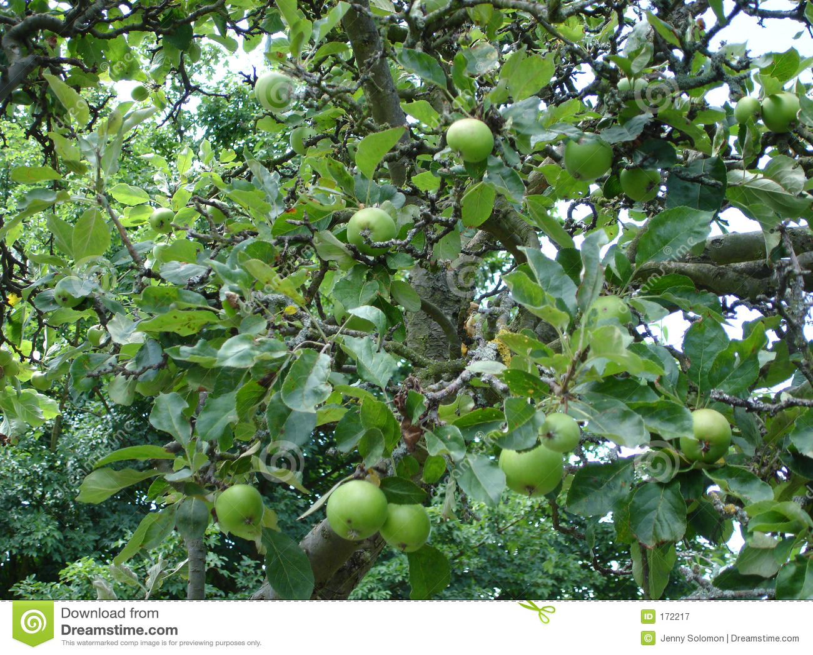 苹果树成长过程图片_苹果树 免版税图库摄影 - 图片: 172217