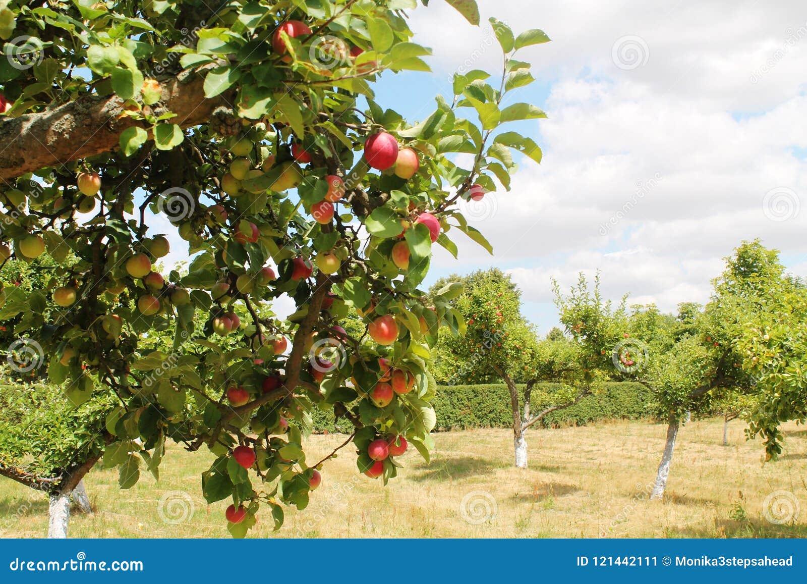 苹果树orchand