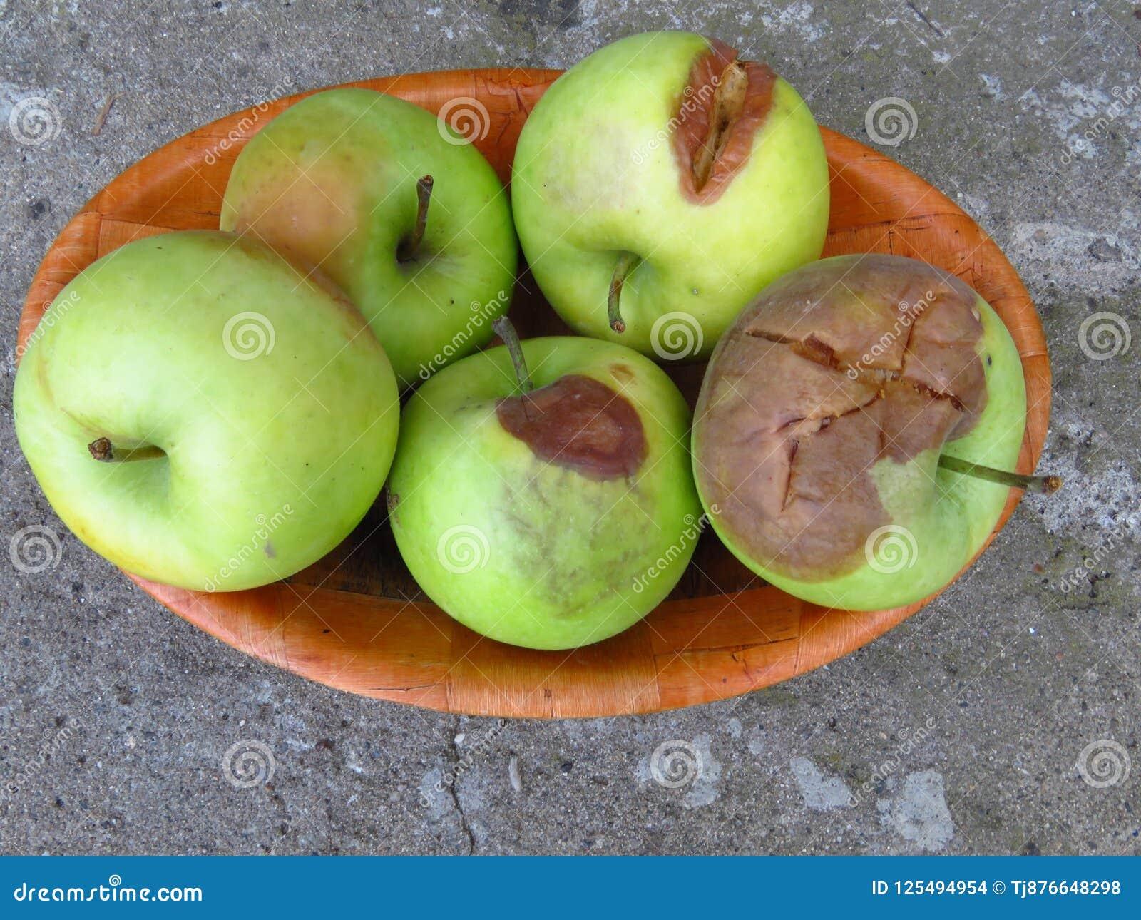 苹果计算机腐烂和其他果子腐烂真菌 腐烂的苹果