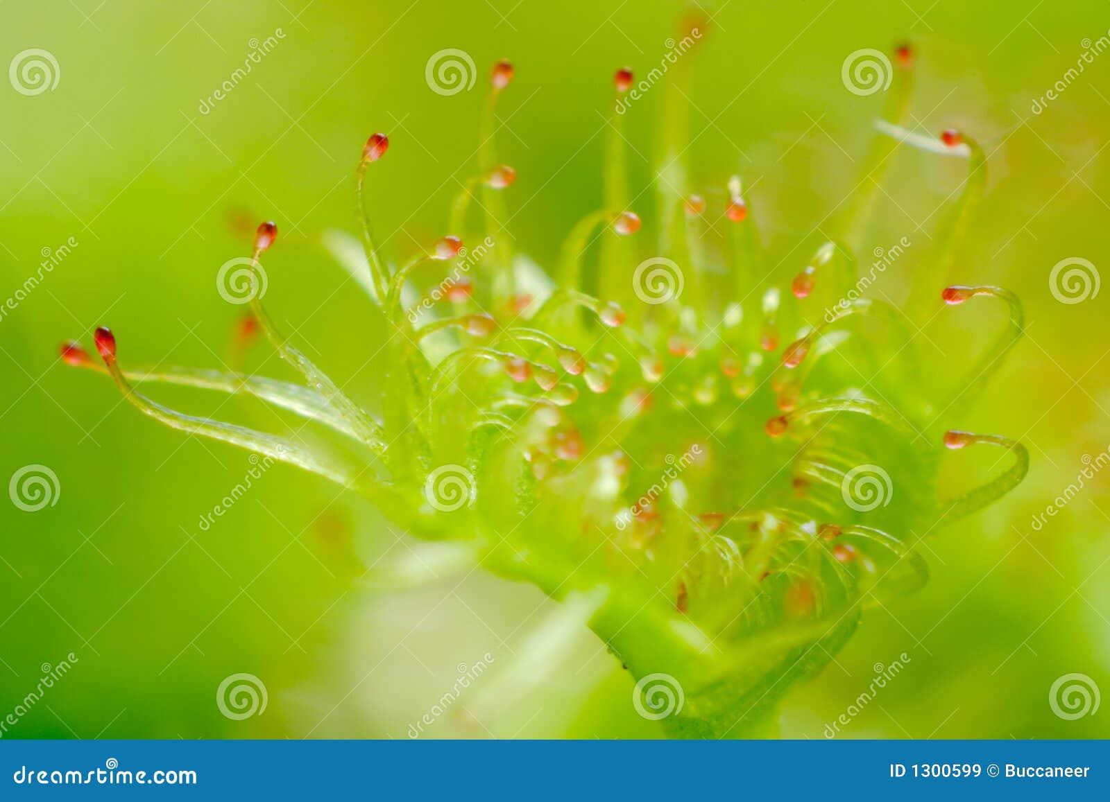 茅膏菜属植物叶子peltata sundew