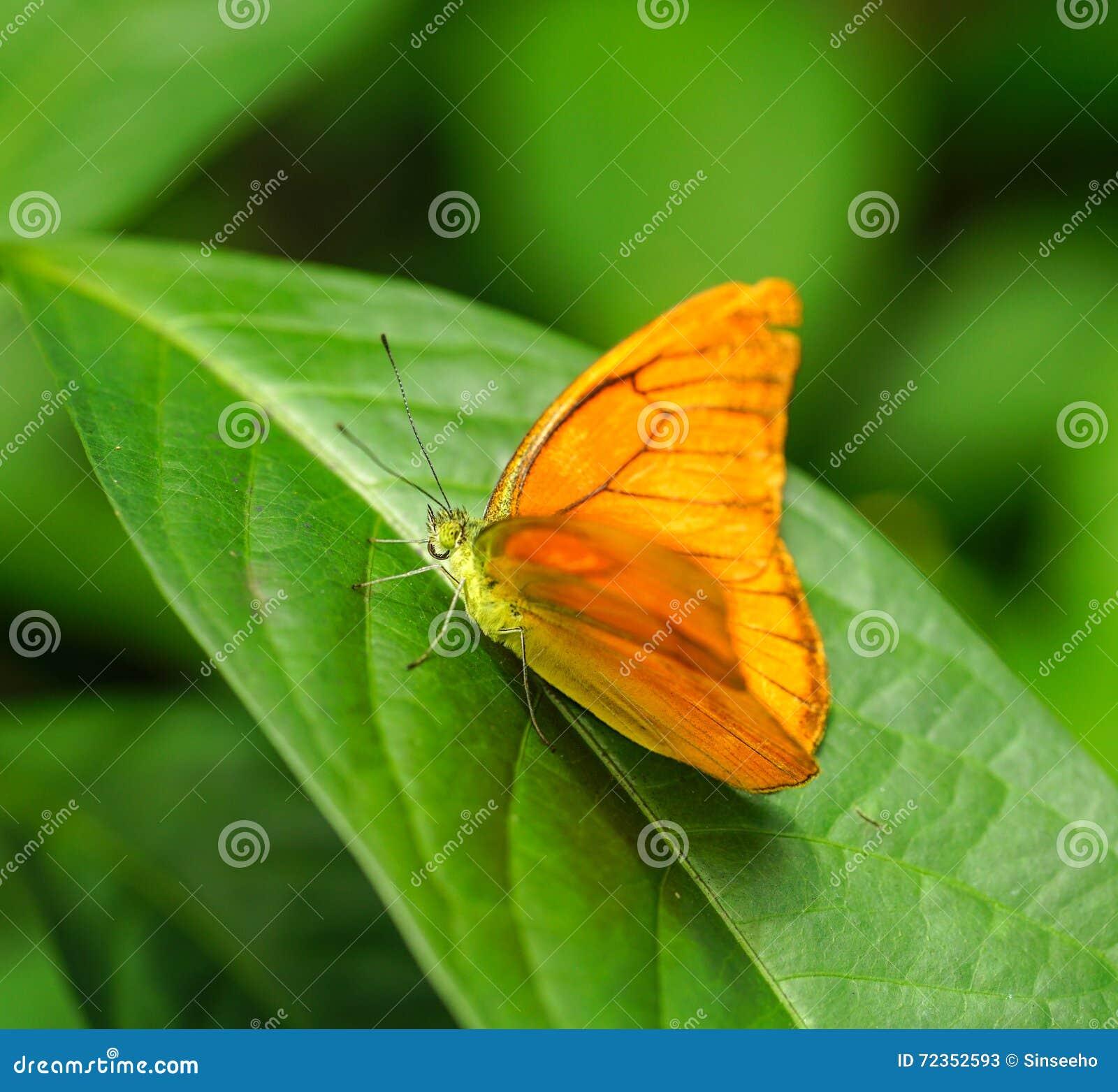 茱莉亚Heliconian蝴蝶在庭院里