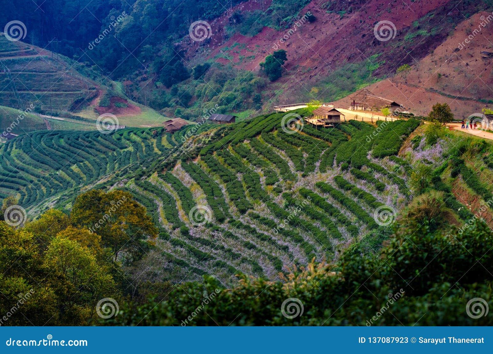 茶农厂有机茶农厂2000年土井Ang Khang清迈泰国早晨
