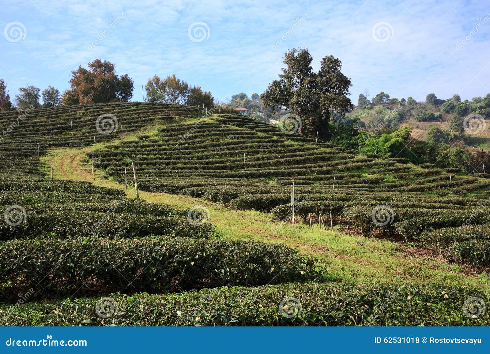 茶园在美斯乐,北泰国