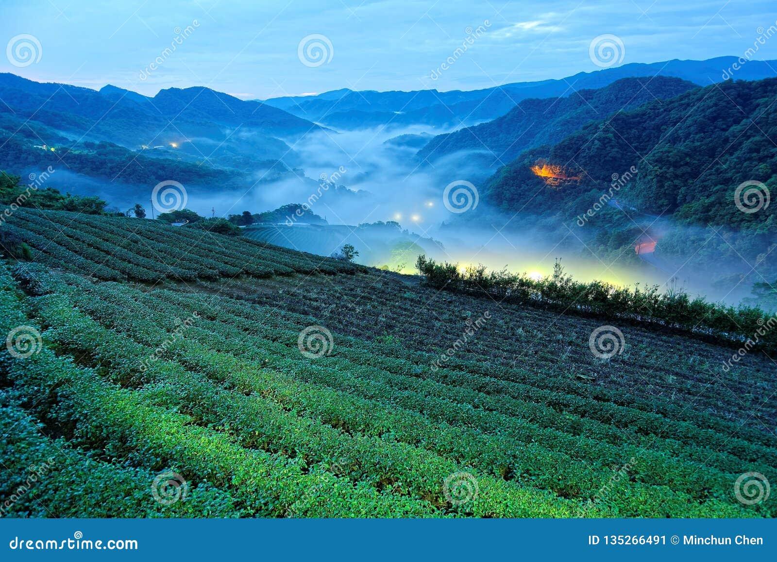 茶园早晨风景在深刻的蓝色微明下在与美好的光的黎明前从谷的村庄
