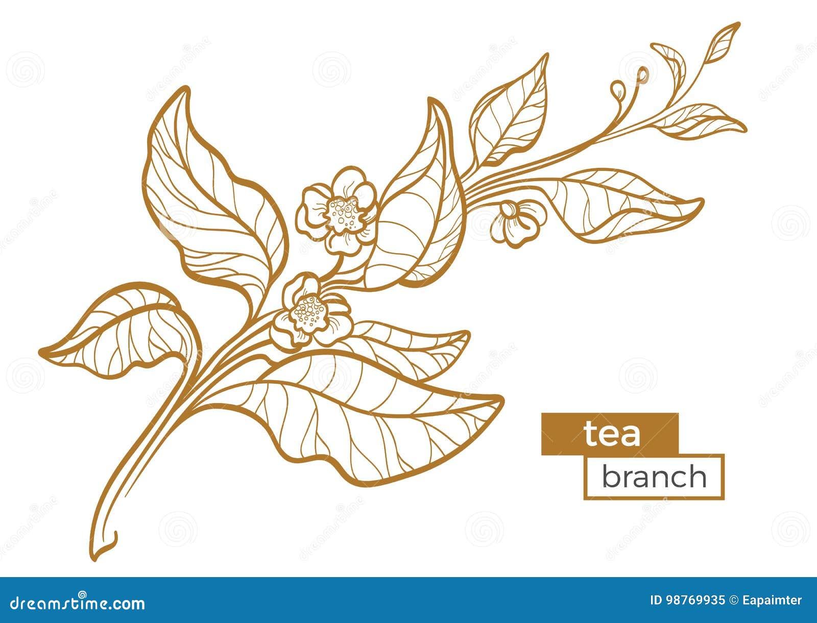 茶灌木分支与叶子和花的 植物的等高图画 有机产品 向量