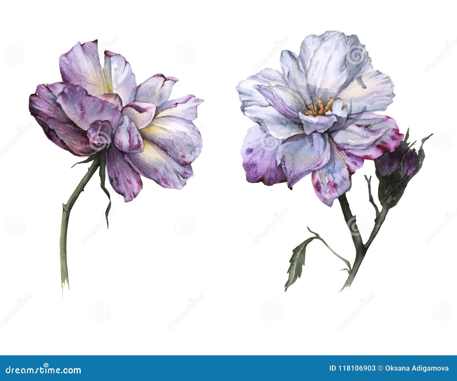 茶的两朵花上升了 背景查出的白色
