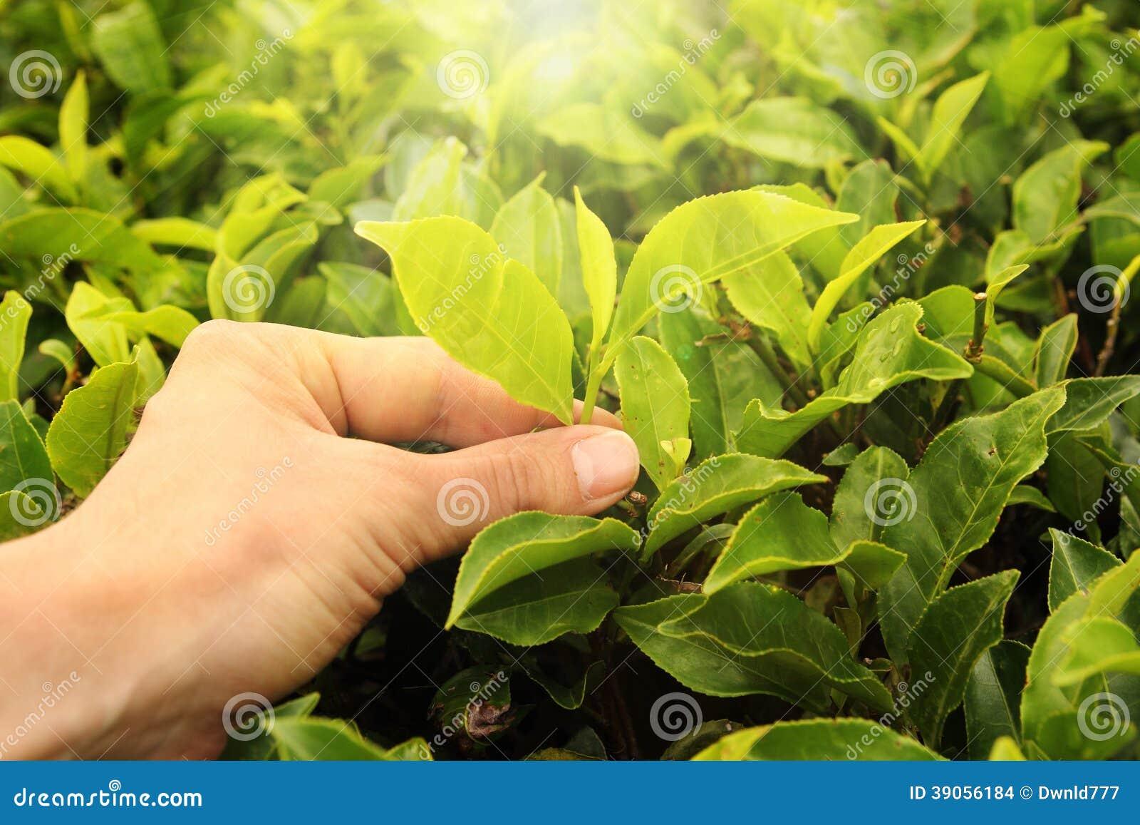 绿茶叶是绿色的吗?