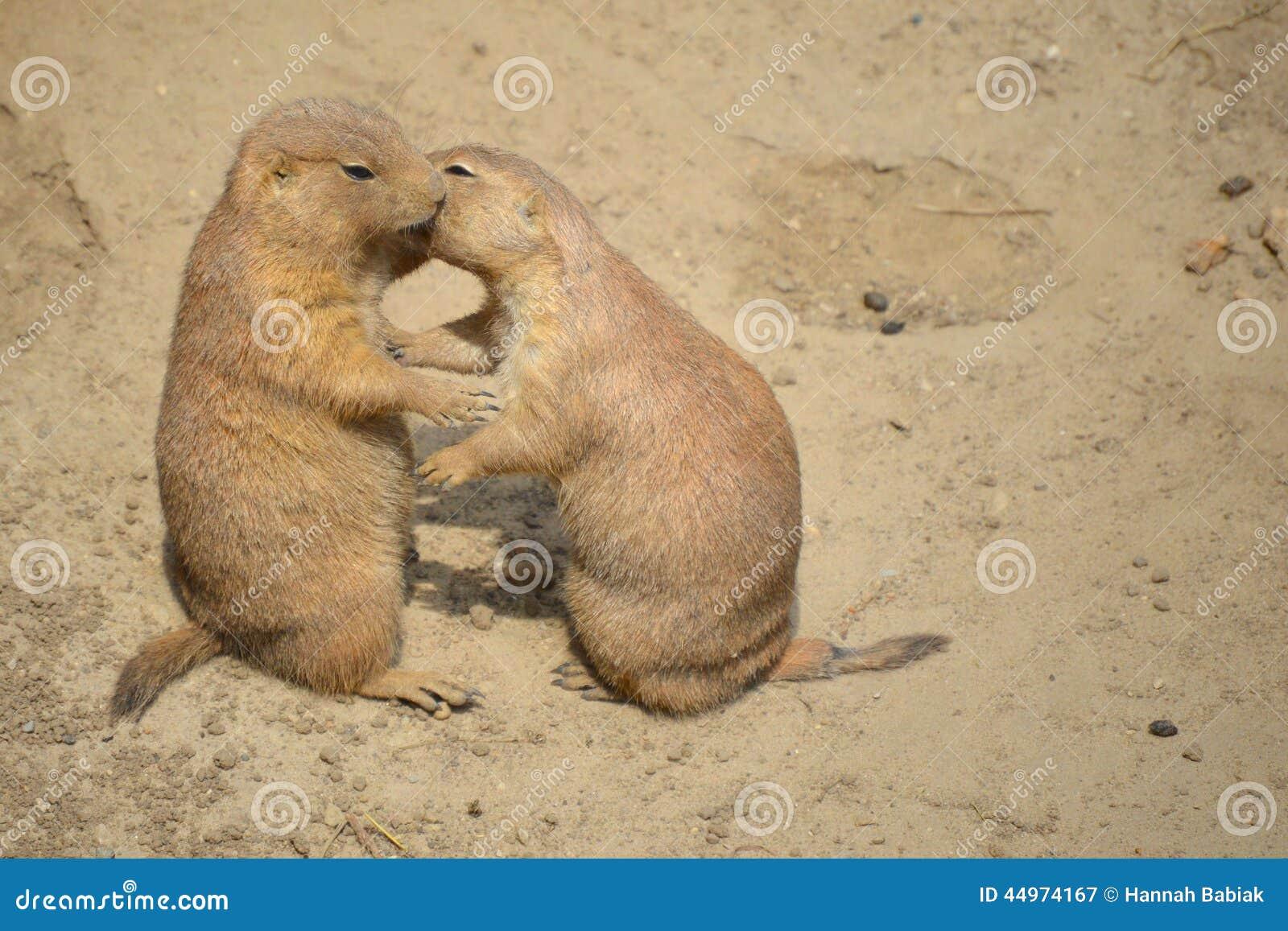 草原土拨鼠亲吻
