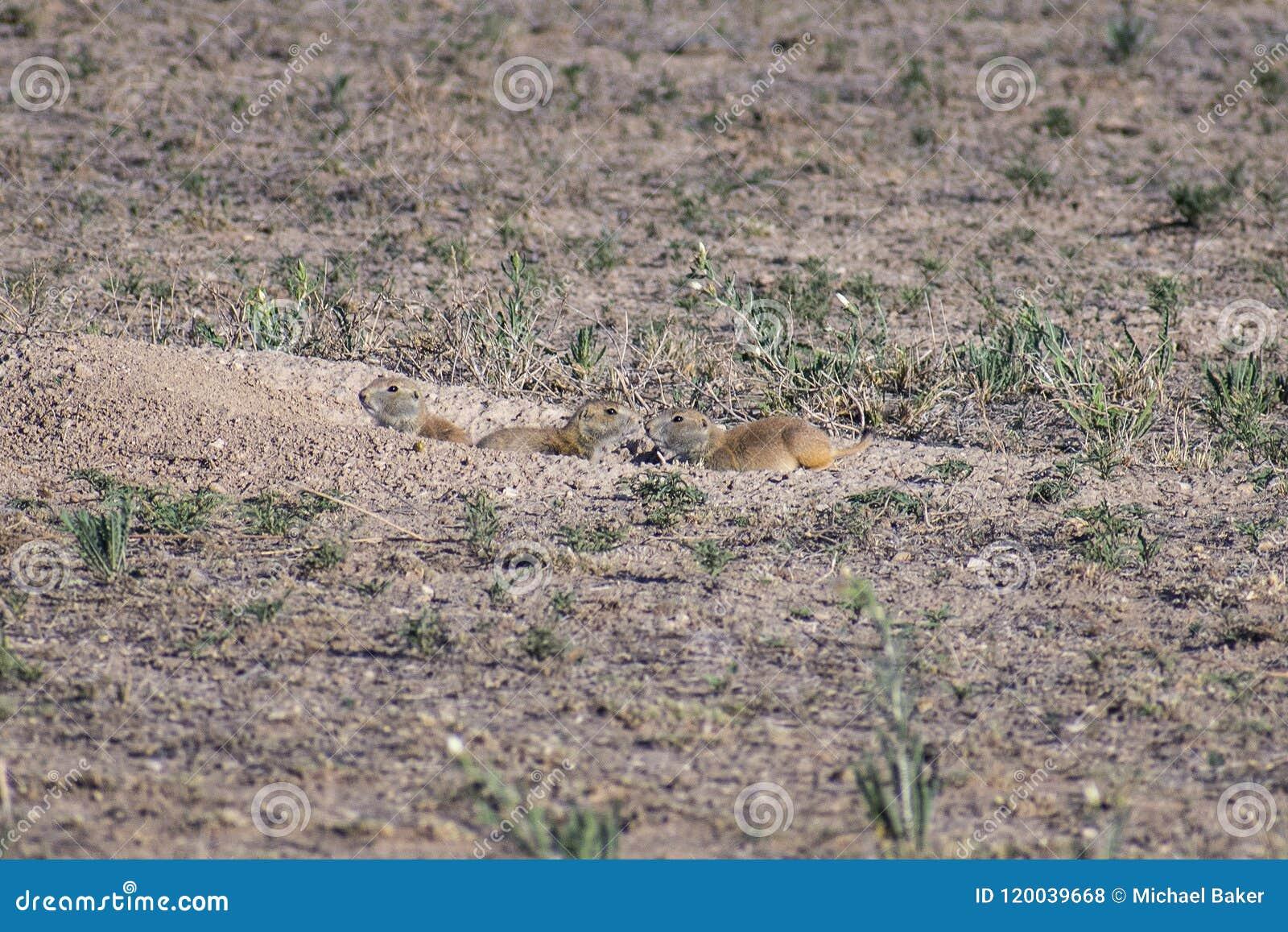 草原土拨鼠伴侣,紧贴在门道入口