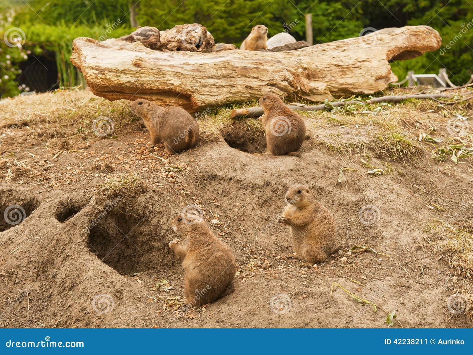 草原土拨鼠