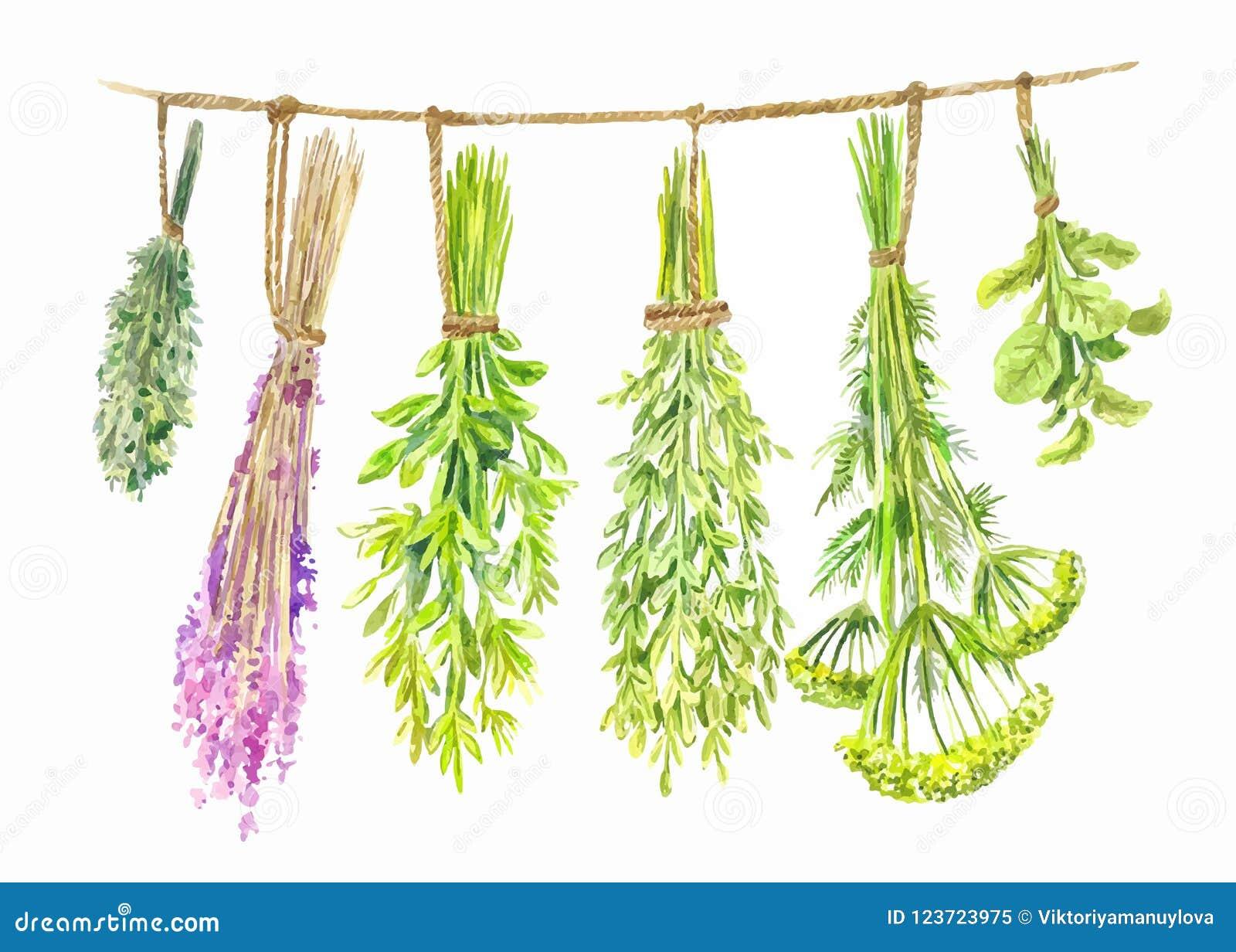 草本在串被烘干 水彩夏天例证