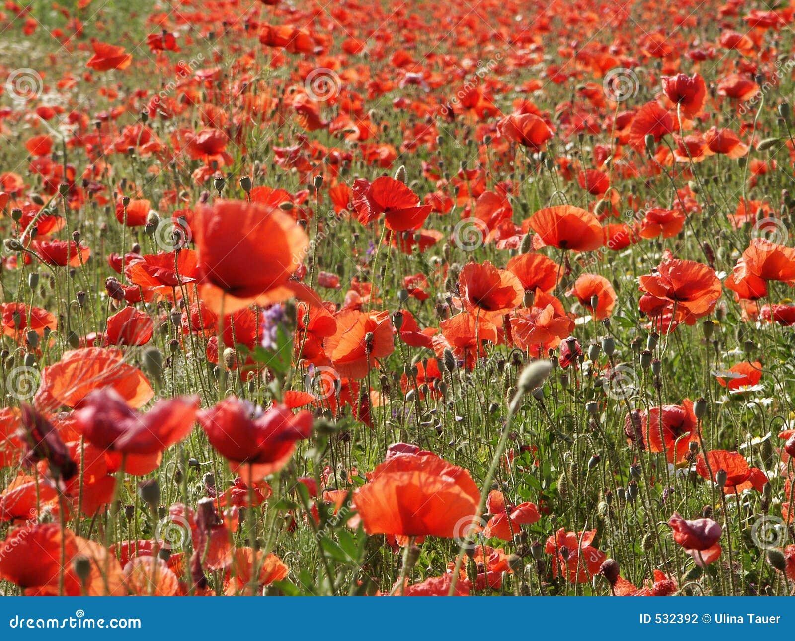 Download 草甸鸦片 库存照片. 图片 包括有 数量, 麻醉, 植物群, 夏天, 草甸, 批次, 颜色, 很多, 绿色, 花卉 - 532392