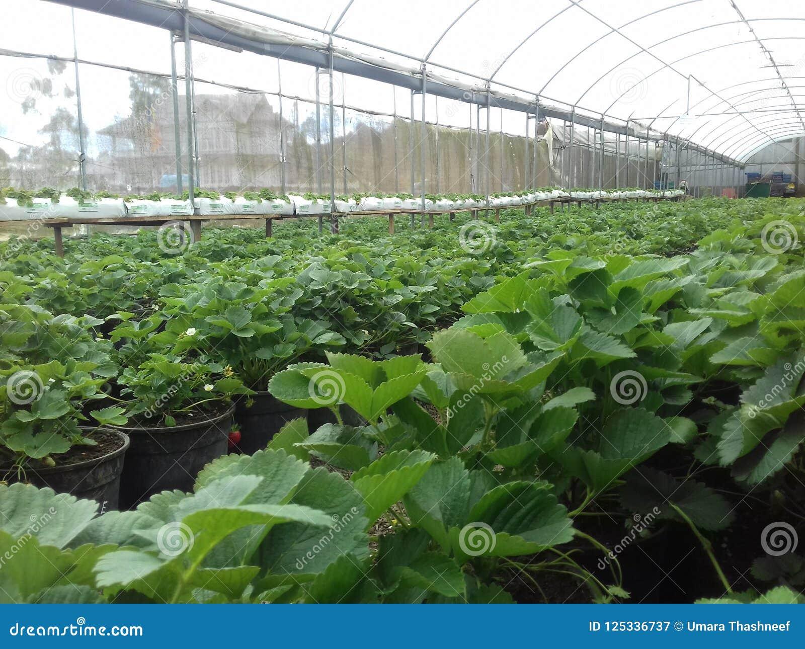 草莓农场在Nuware Eliye