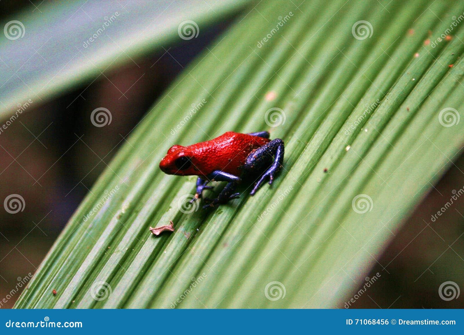 草莓毒物箭青蛙