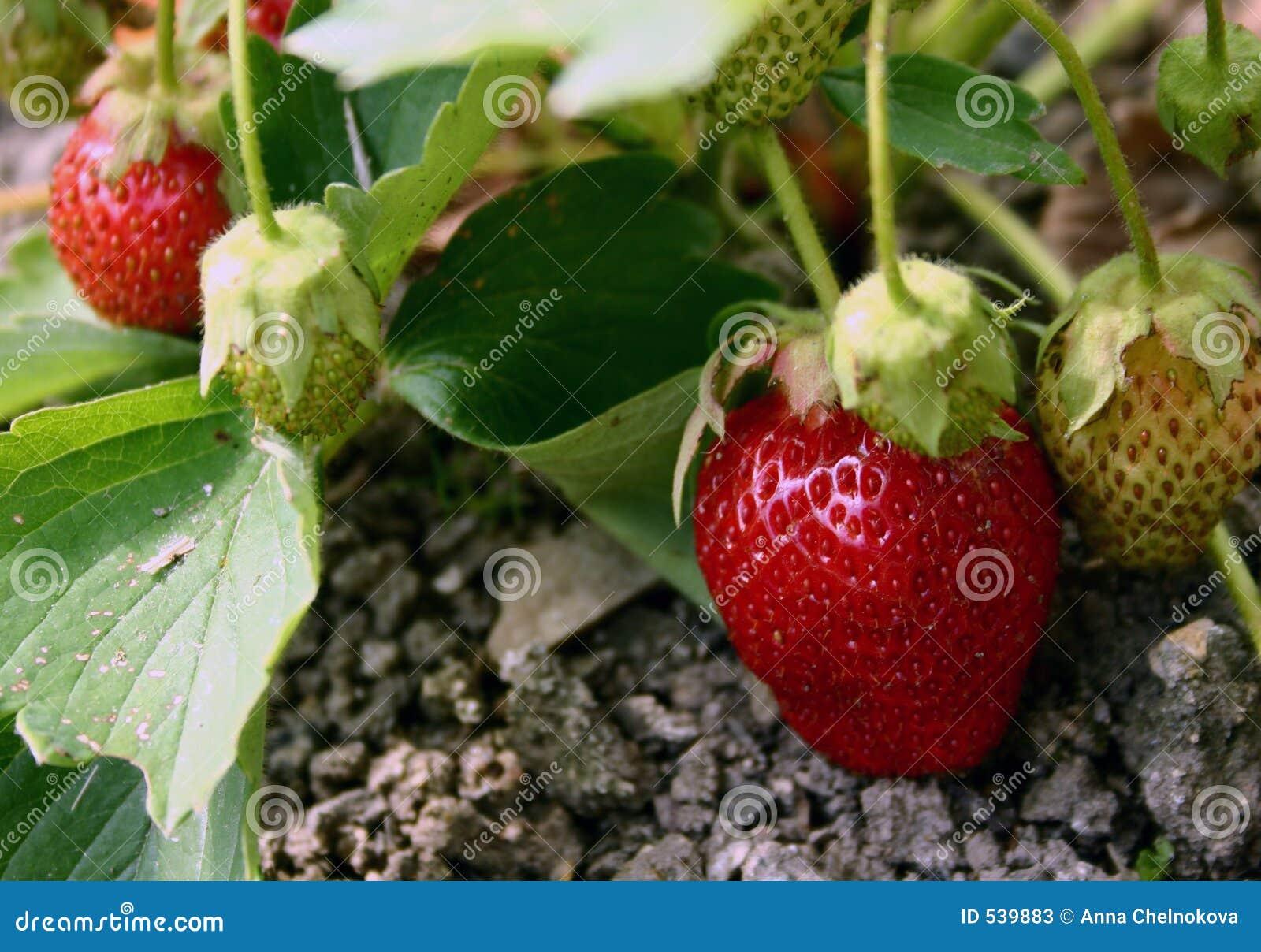 Download 草莓 库存图片. 图片 包括有 庄稼, 生态, 本质, 工厂, 季节, 农夫, 草莓, 土壤, 庭院, 叶子 - 539883