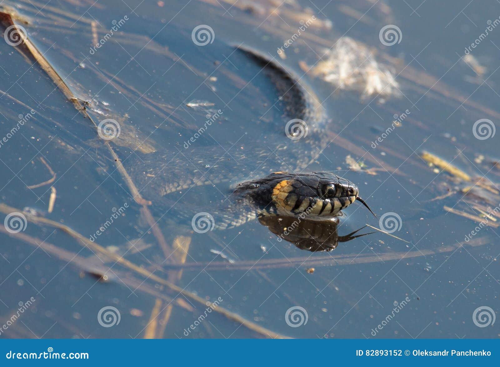 草蛇,称圈状的蛇或水蛇在湖