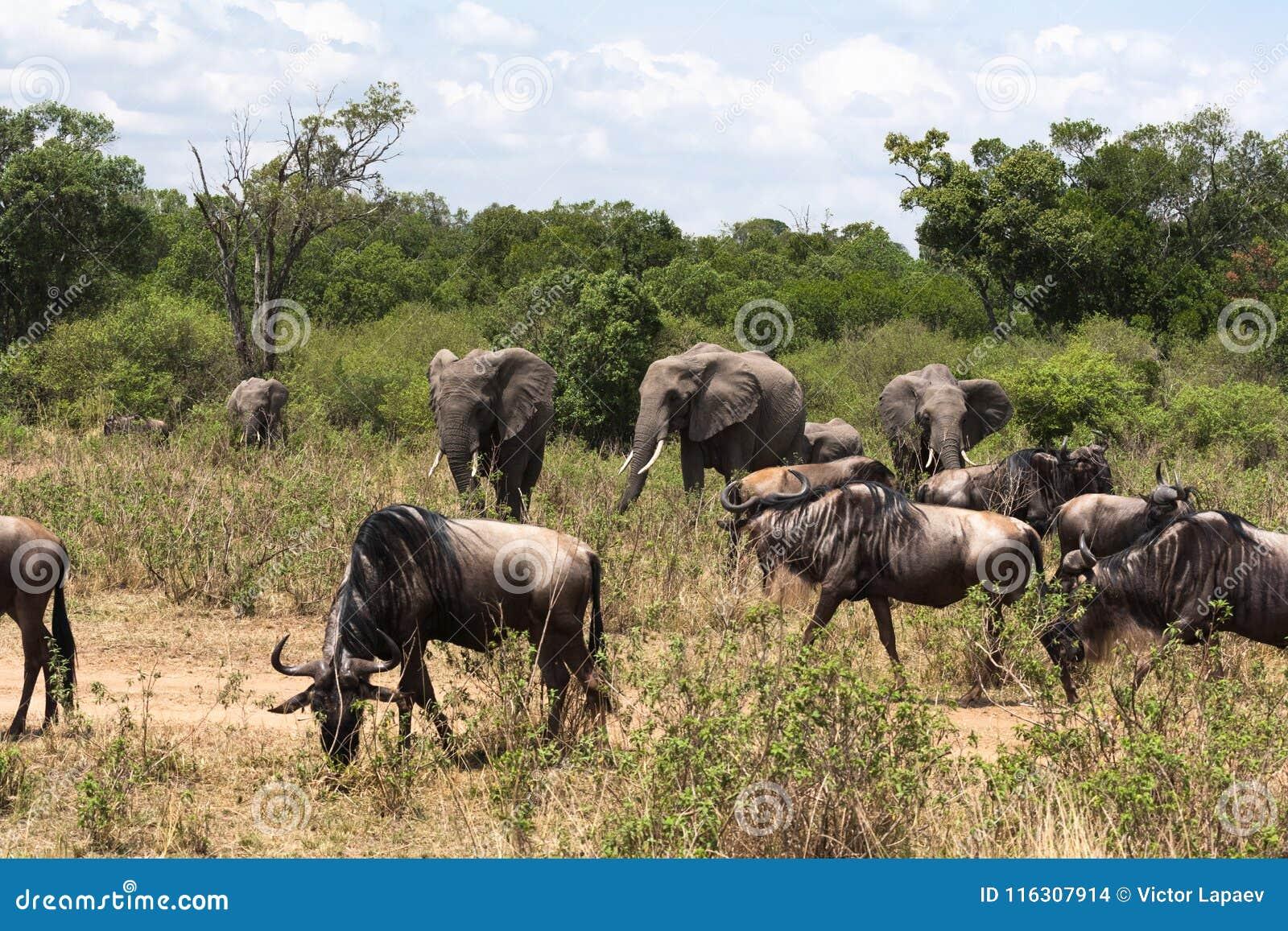 草食动物混杂的牧群在非洲的大草原的 肯尼亚mara马塞语