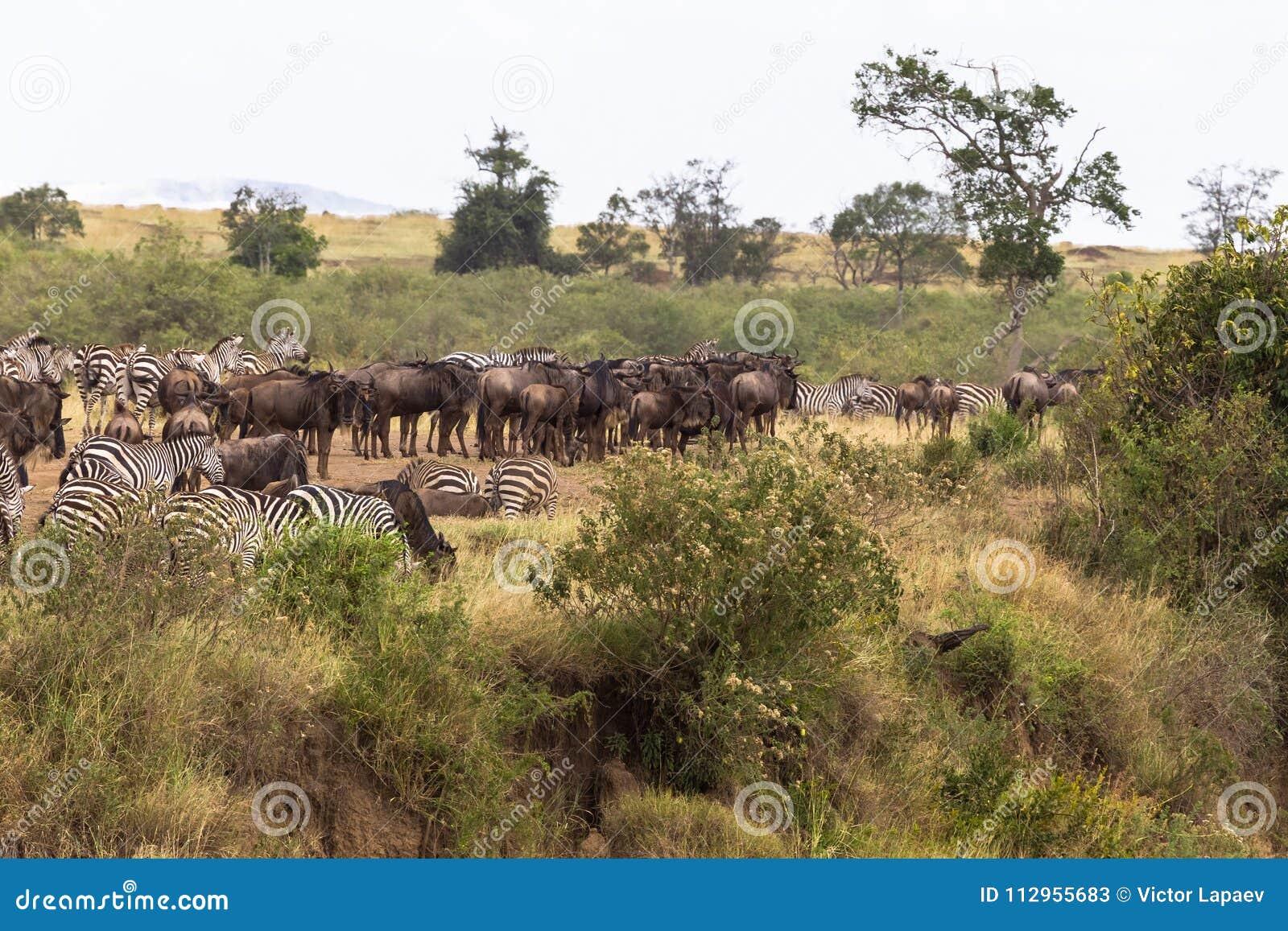 草食动物牧群在高银行的 肯尼亚mara马塞语