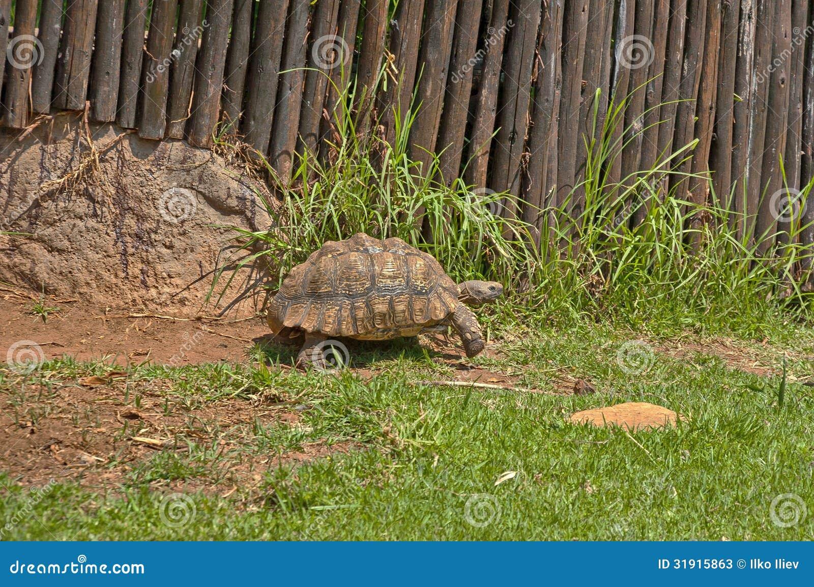 草龟在JHB动物园里慢慢地移动