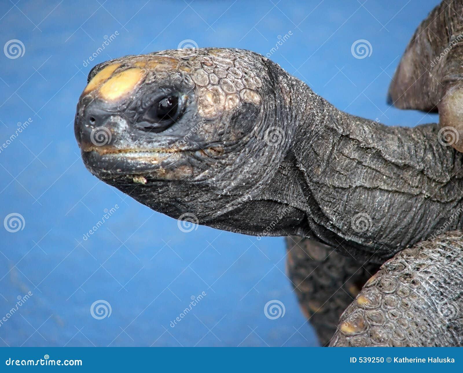 Download 草龟 库存照片. 图片 包括有 起皱纹, 配置文件, 皱痕, 乌龟, 蜥蜴, 爬行动物, 故意, toolmaking的 - 539250