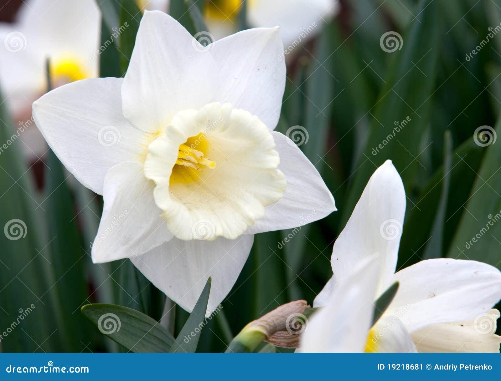 庭院草水仙白色.图片