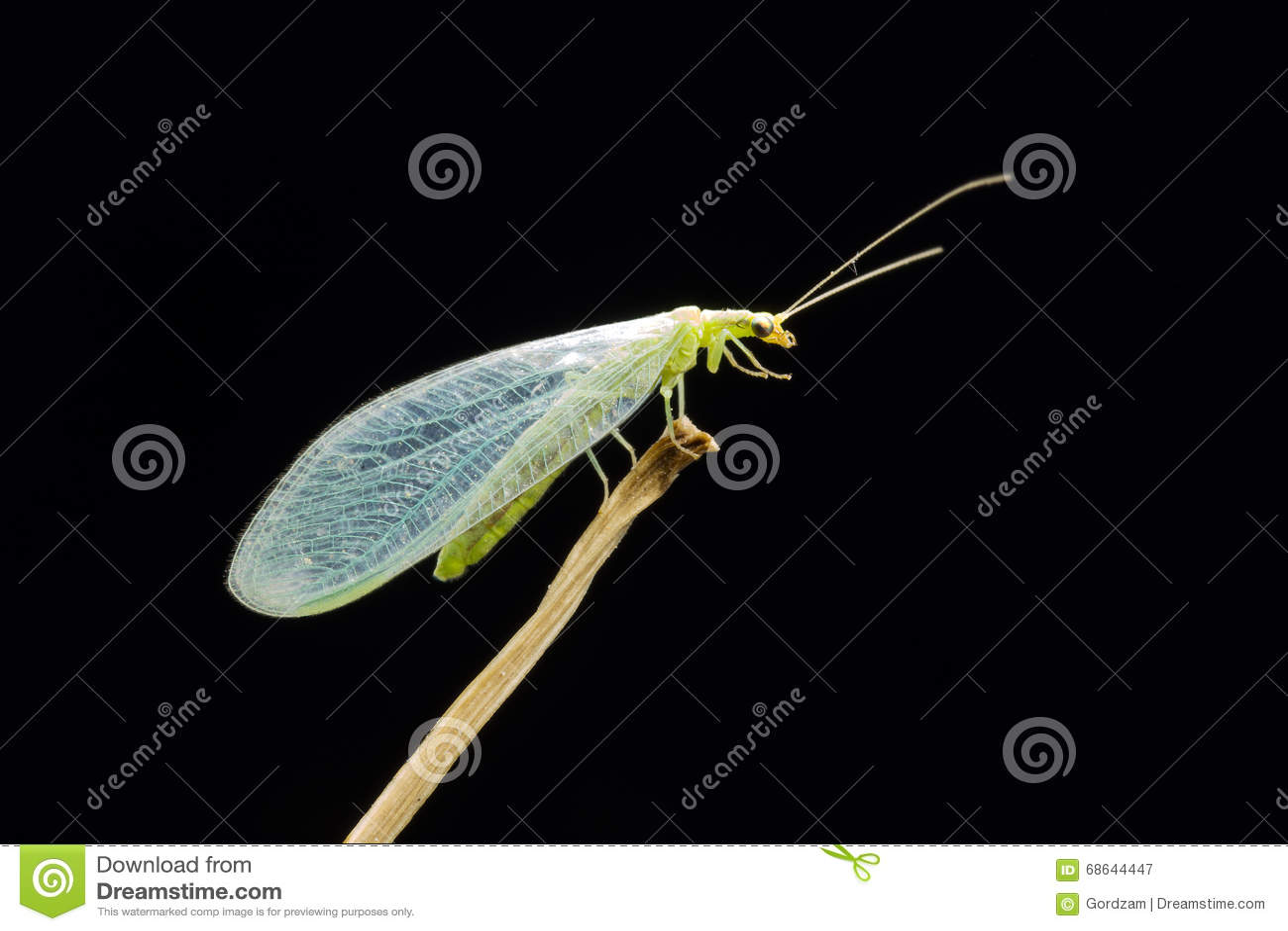 草蜻蛉在晚上