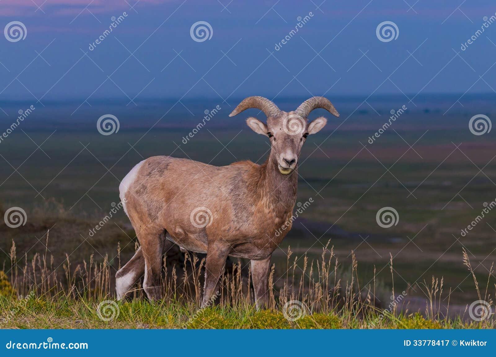 荒地大角野绵羊男性