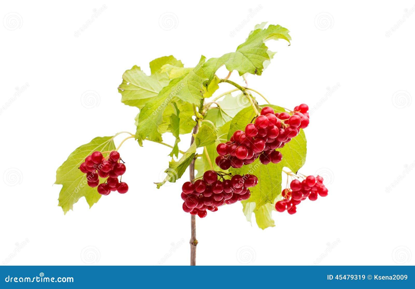 荚莲属的植物分行