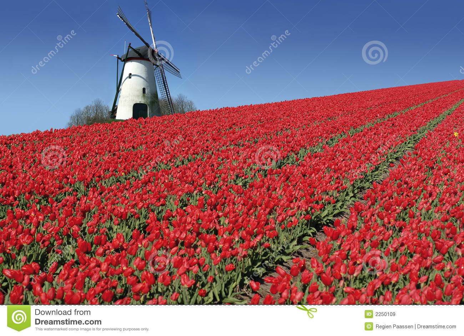 荷兰语磨房红色郁金香