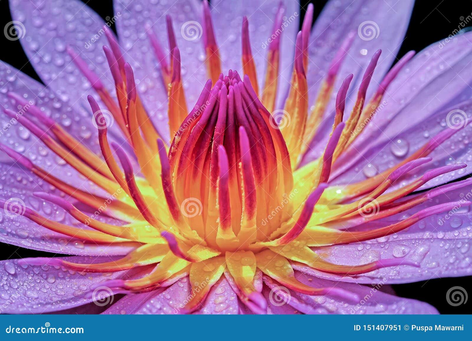荷花的秀丽开花与在它的瓣的露滴