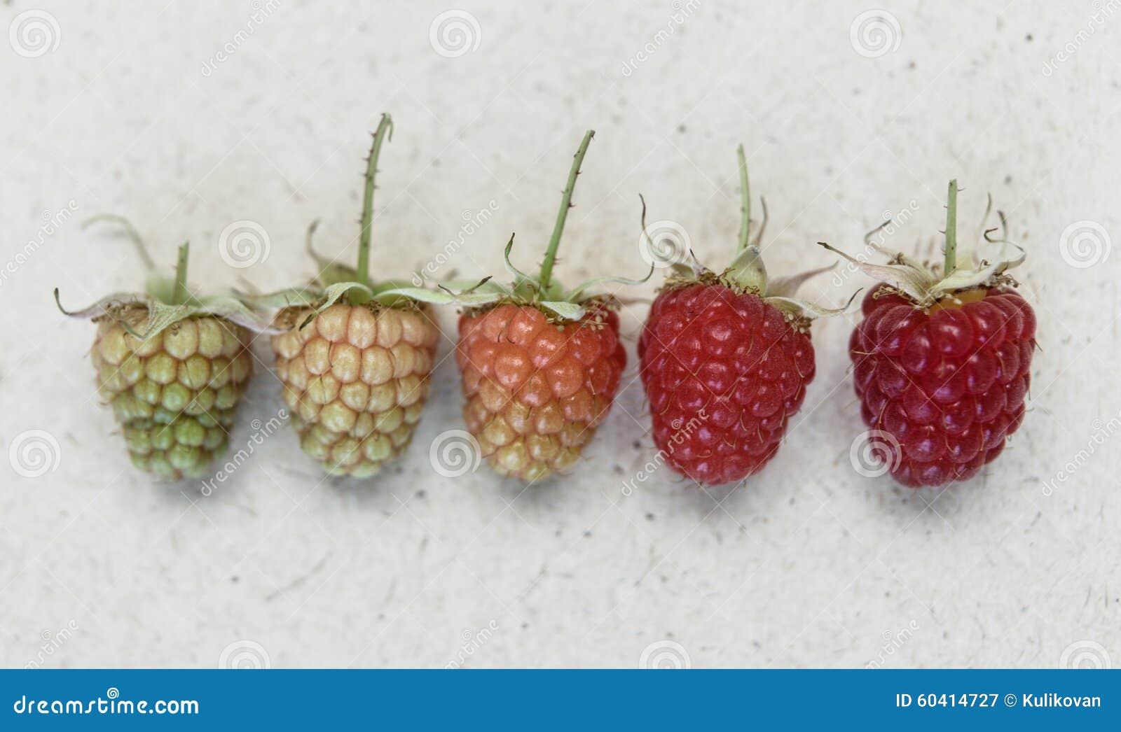 莓背景 另外种类莓的熟
