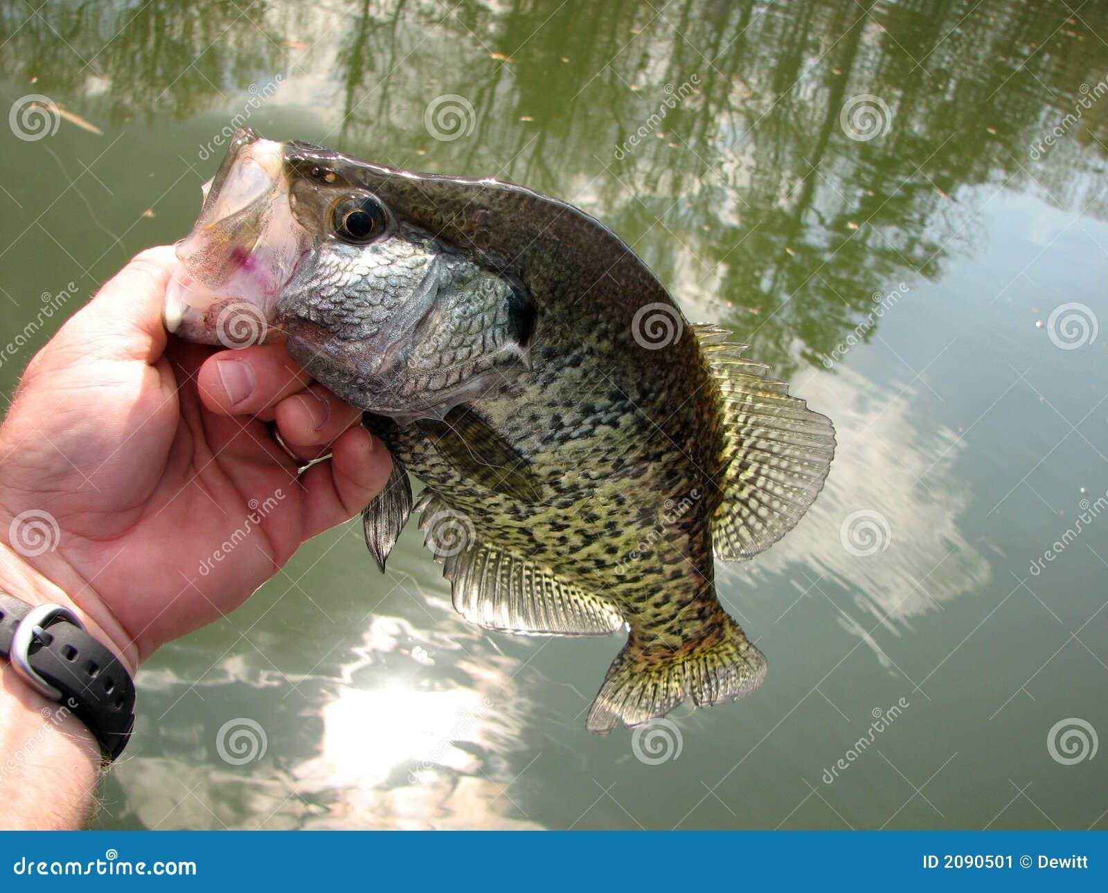 莓鲈翻车鱼