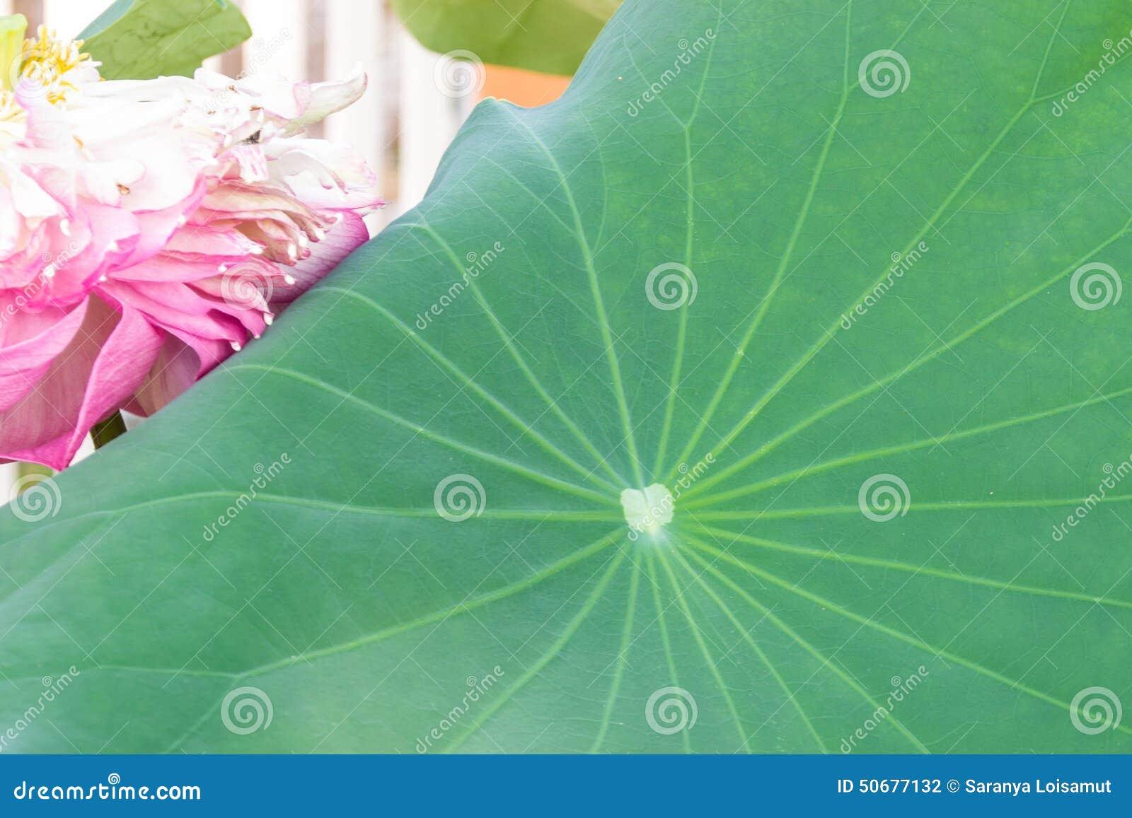 Download 莲花叶子 库存照片. 图片 包括有 传统, 款待, waterlily, 叶子, 多种, 医学, 告诉, 工厂 - 50677132