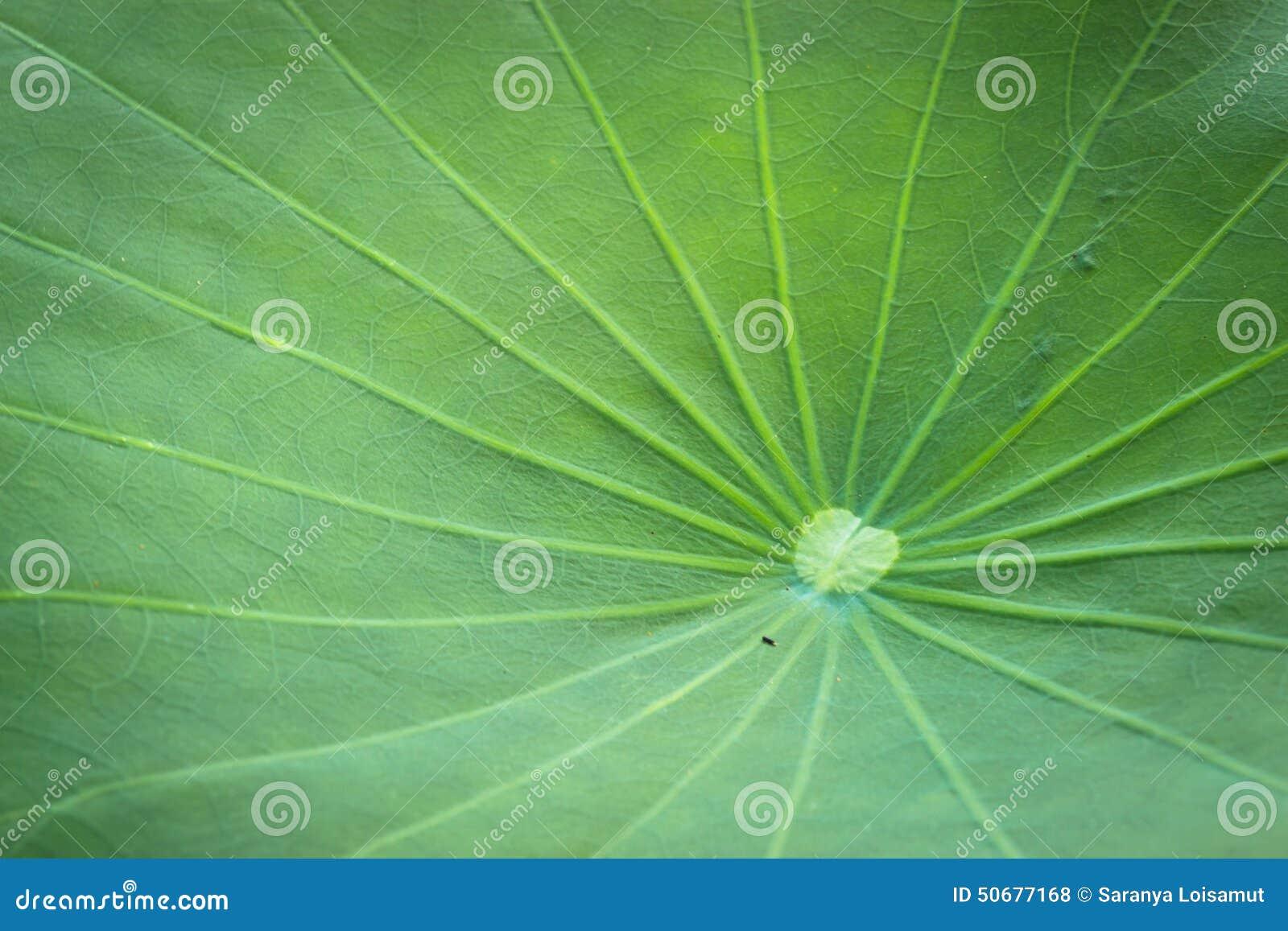 Download 莲花叶子 库存照片. 图片 包括有 绿色, benetton, 告诉, 的treadled, 莲花, 款待 - 50677168