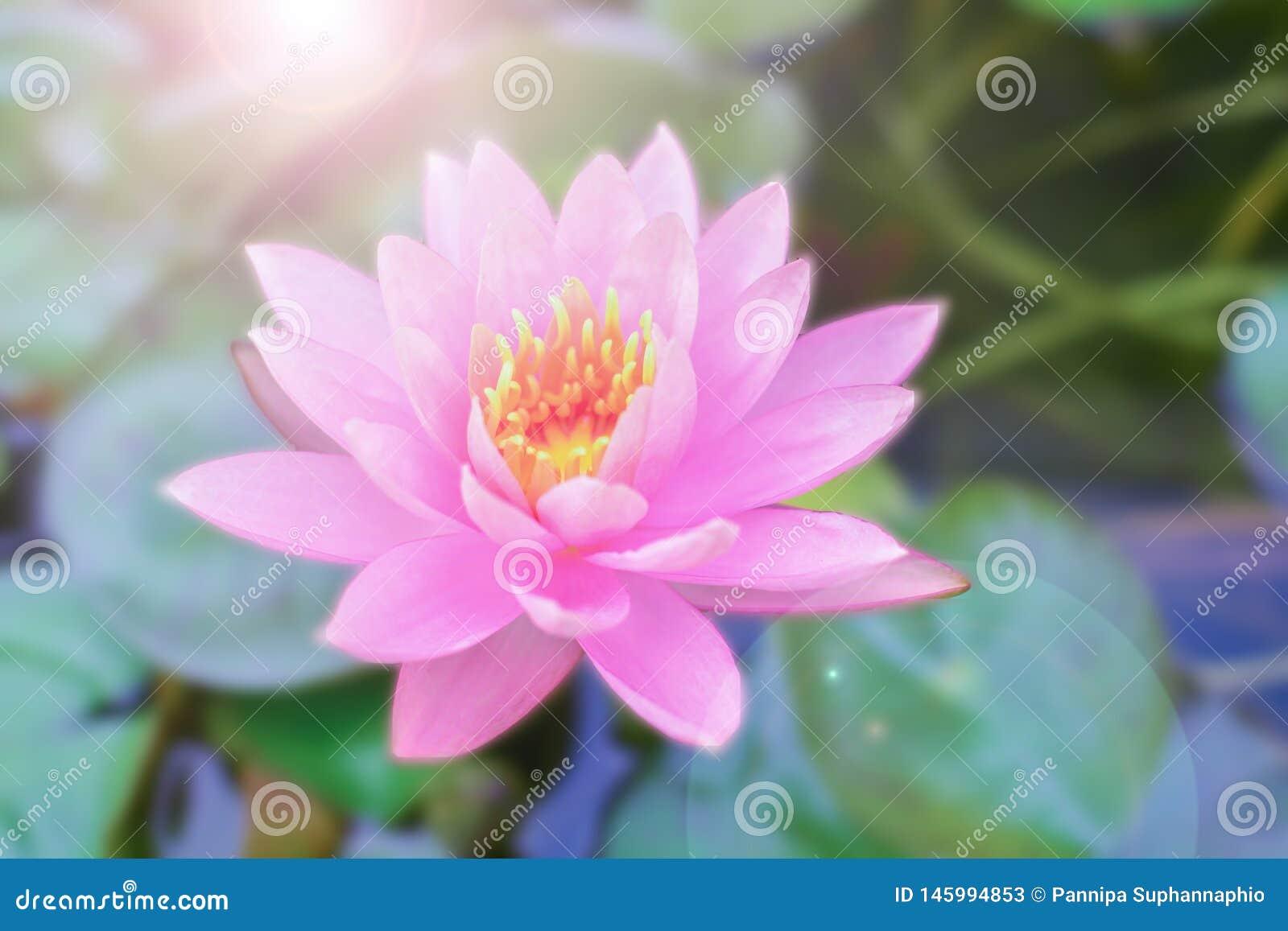 莲花和早晨光