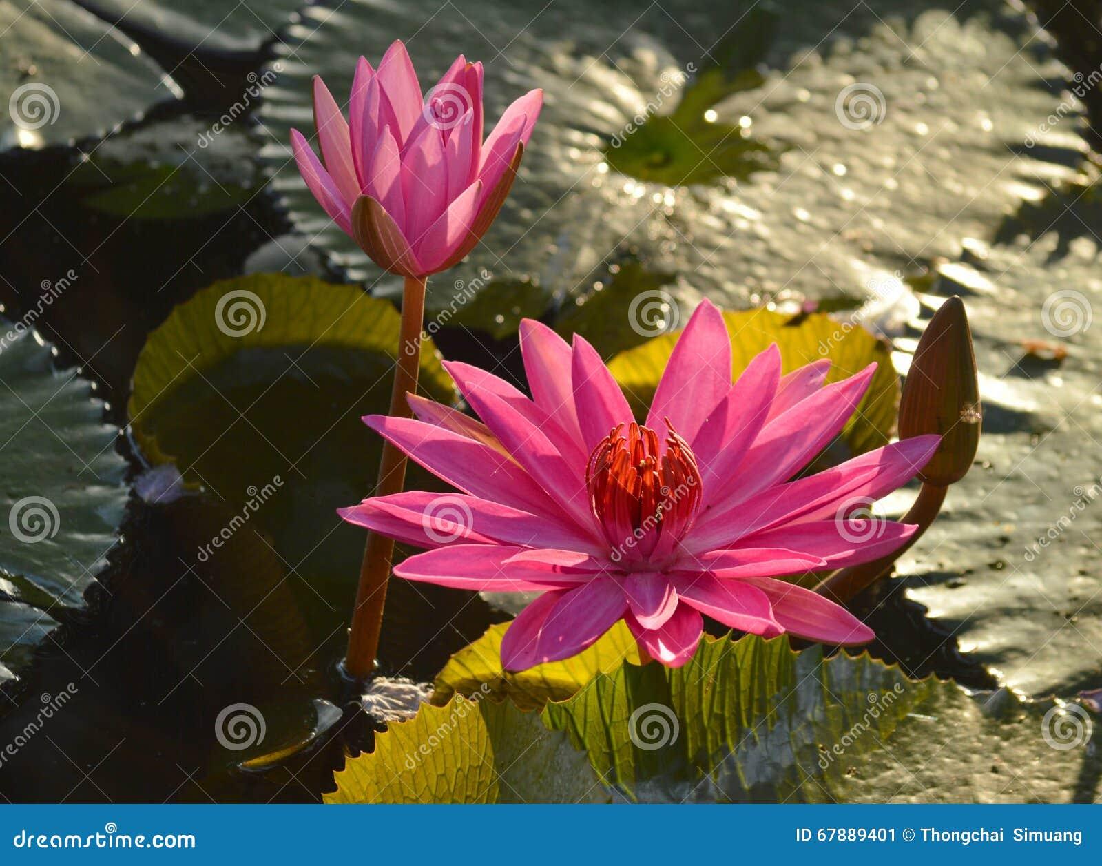莲花和荷花池 荷花池 有很多莲花