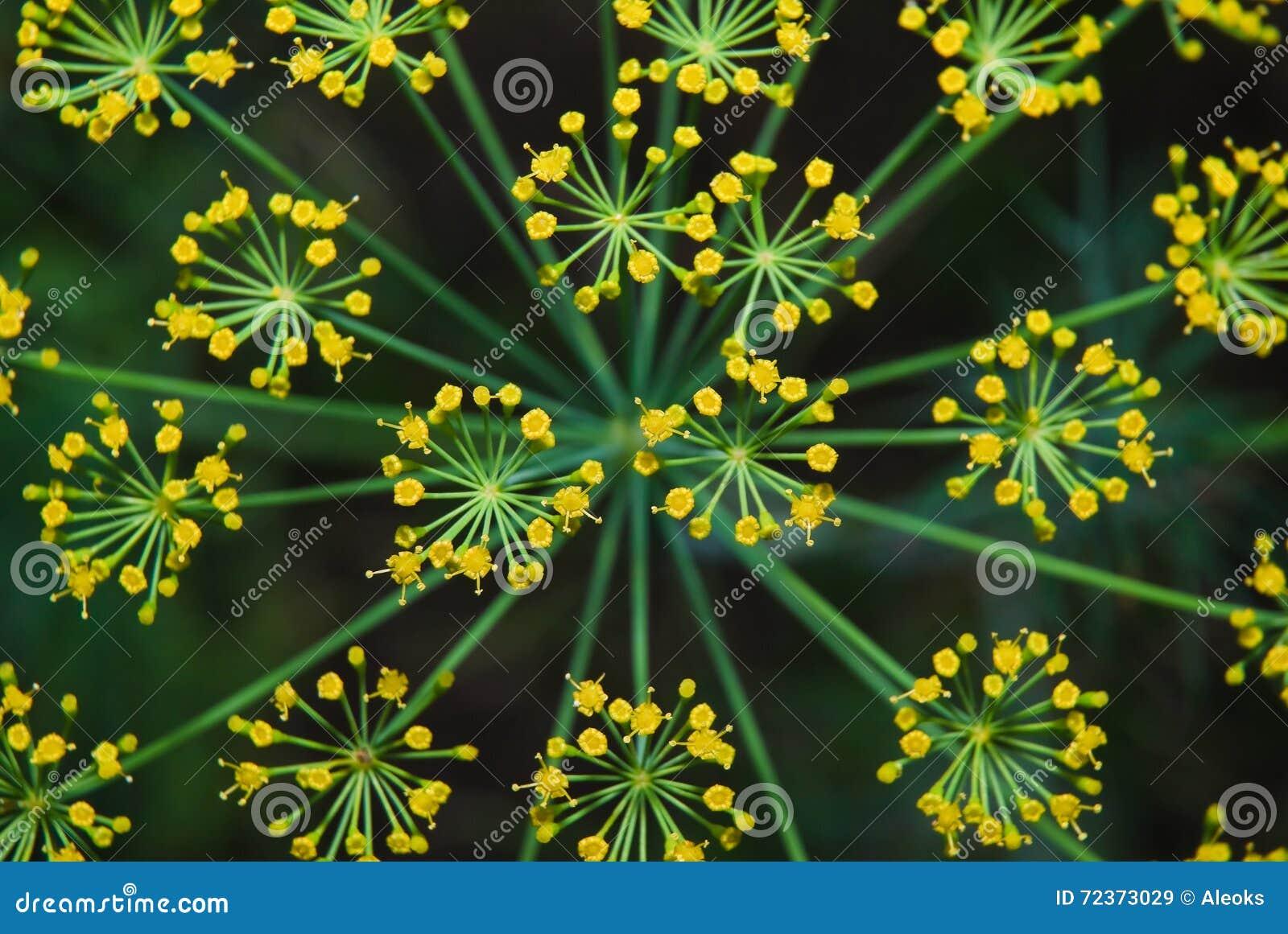 莳萝(Anethum graveolens) 宏指令 顶视图