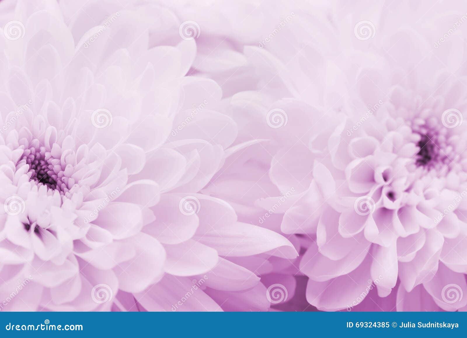 菊花为背景,美好的花卉纹理,减速火箭定调子,桃红色颜色开花