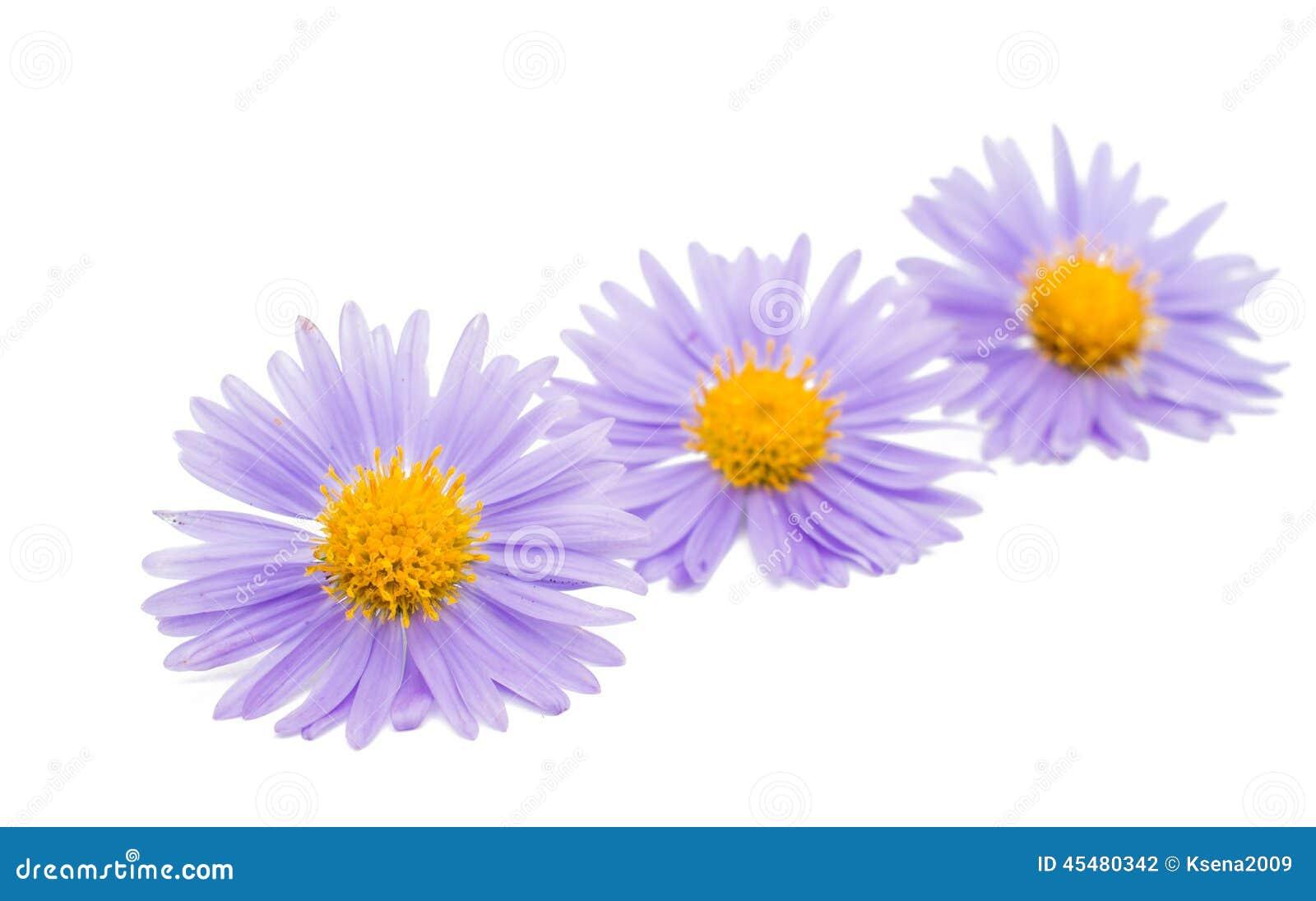 菊花开花小