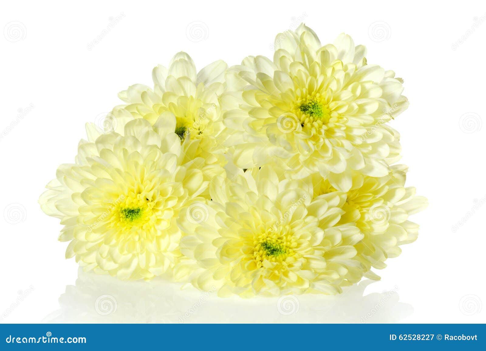 菊花开花黄色