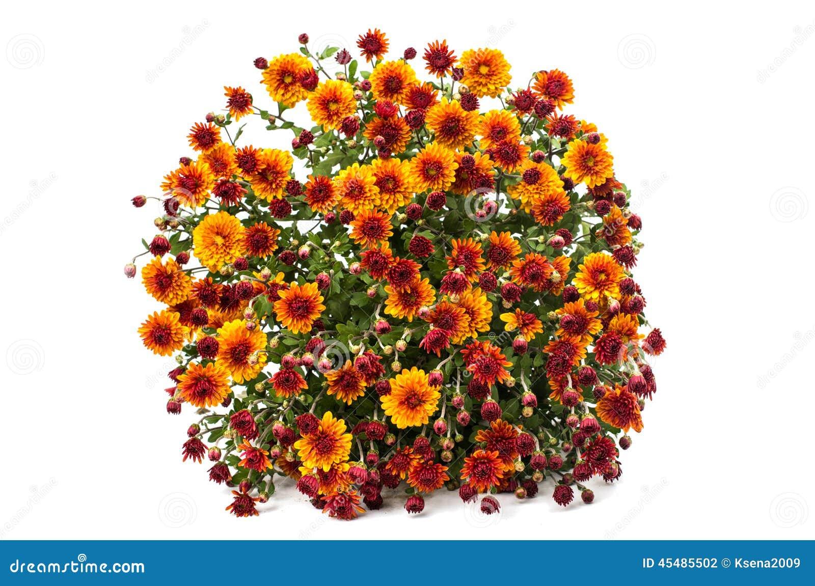 菊花橙黄色