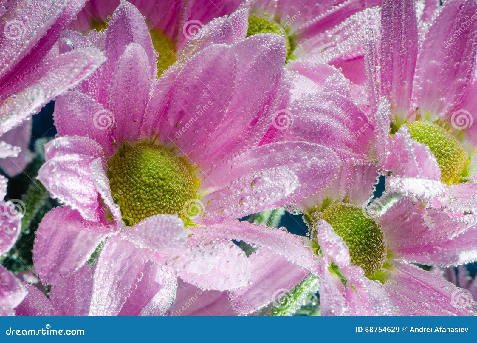 菊花花在与空气,特写镜头泡影的水中