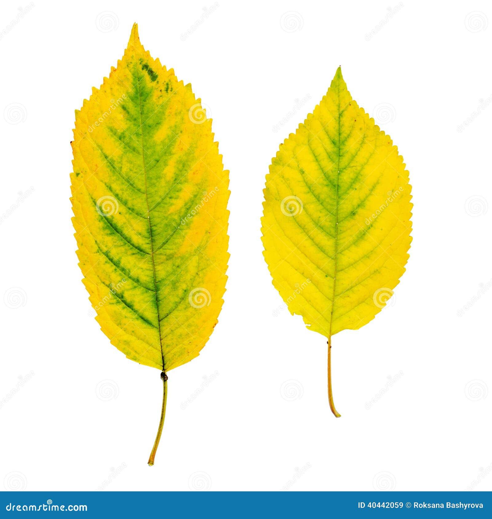 菩提树叶子图片