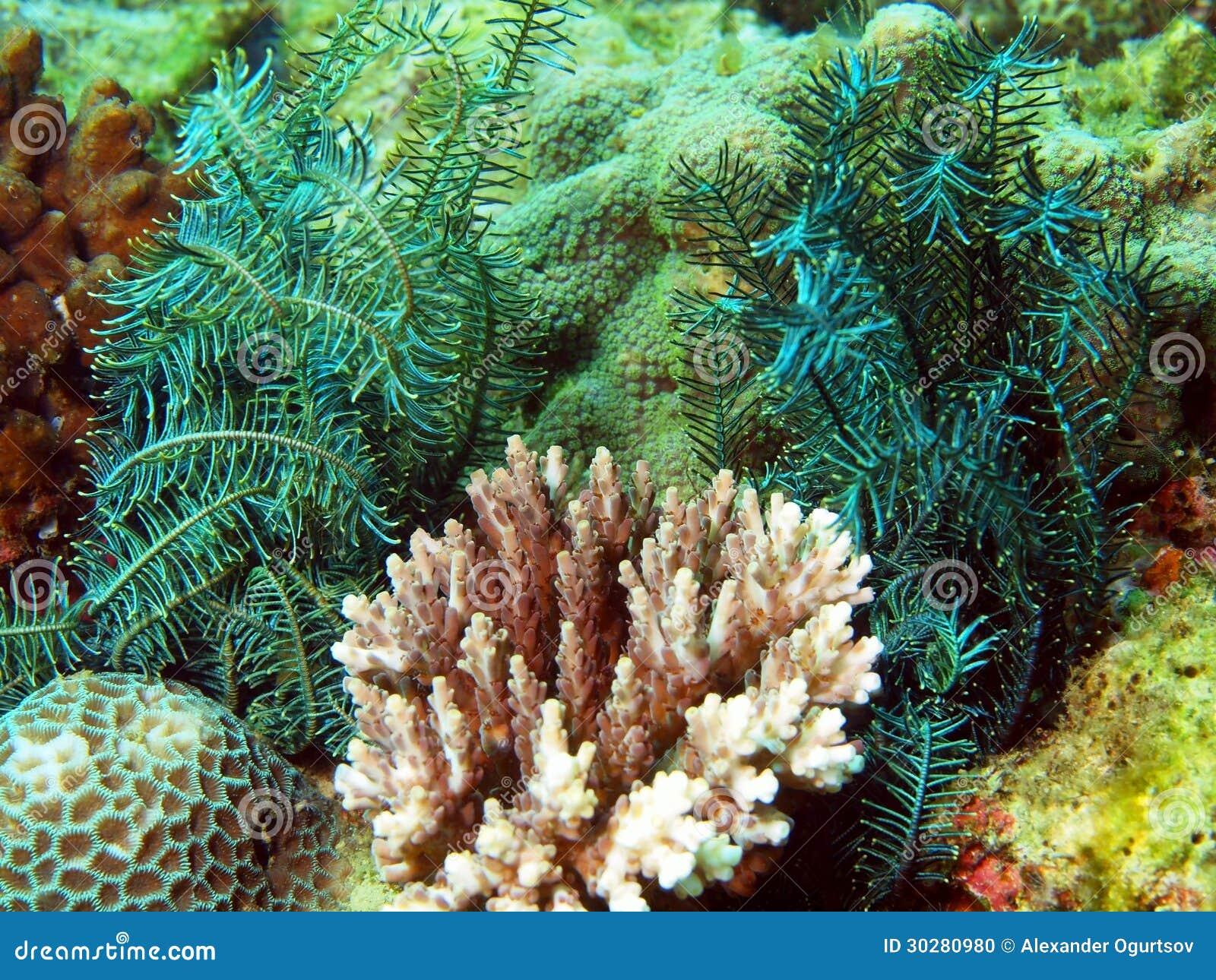 菲律宾海的海百合
