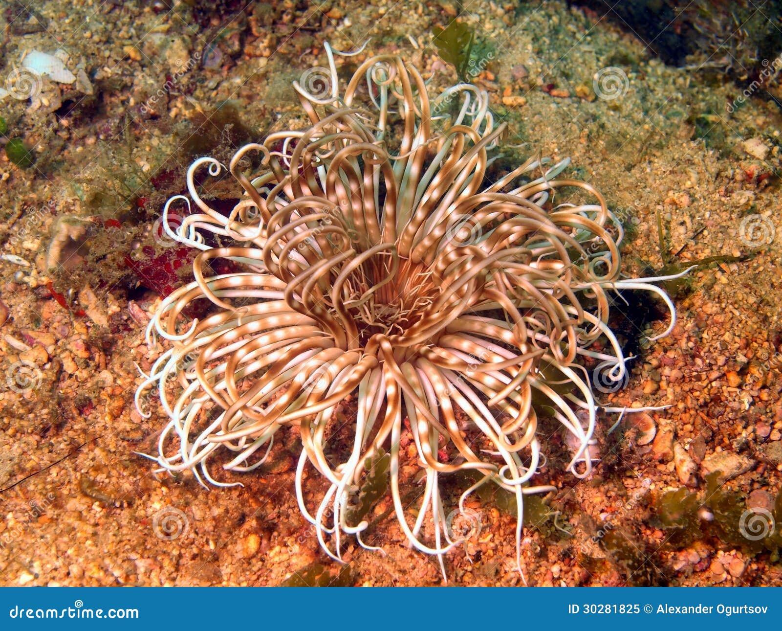 菲律宾海的银莲花属